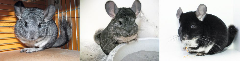 Chinchilla ((© by RÖK)